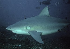 Fauna of Nicaragua - A bull shark, which can survive in fresh water.