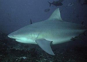 A bull shark