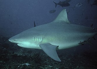Bull shark - Image: Bullshark Beqa Fiji 2007