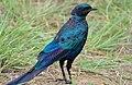 Burchell's Starling (Lamprotornis australis) (16394703987).jpg