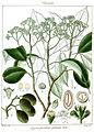 Bursinopetalum arboreum.jpg