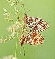 Butterfly Boloria selene (Linnaeus, 1758).jpg