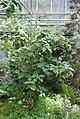 CBN Solanum vespertilio dorame 2015-07-03 Philweb 2.jpg