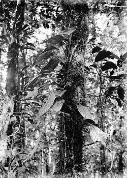COLLECTIE TROPENMUSEUM Agalmyla parasitica Tjibodas TMnr 10006379.jpg