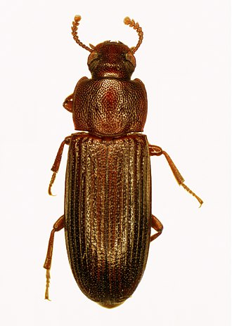 Conservation and restoration of insect specimens - The flour beetle, a common pest affecting dried insect specimens.