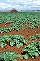 CSIRO ScienceImage 4061 Farmer hilling his potato crop between East Barron and Stonehouse Roads Atherton QLD.jpg