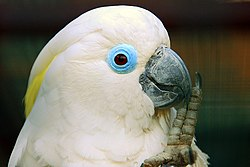 Cacatua ophthalmica -Vogelpark Walsrode -upper body-8a.jpg