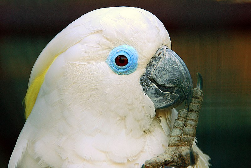 File:Cacatua ophthalmica -Vogelpark Walsrode -upper body-8a.jpg