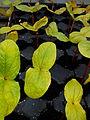 Cachan fleurissement semis Ricin 02.jpg