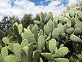 Cactus and Olives - panoramio.jpg