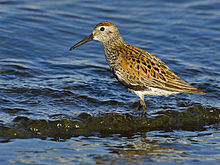 Calidris alpina03.jpg