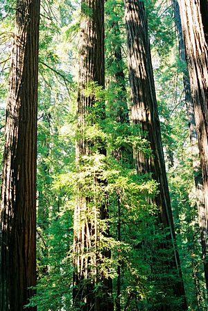 Trees of Mystery - Image: California Redwood Trees