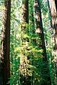 California Redwood Trees.jpeg