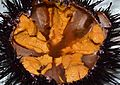 California Sea Urchin 02 (Redondo Beach CA 20140215-0173).JPG