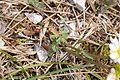 Callianthemum anemonoides foliage.jpg