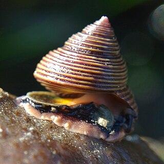 <i>Calliostoma</i> Genus of gastropods