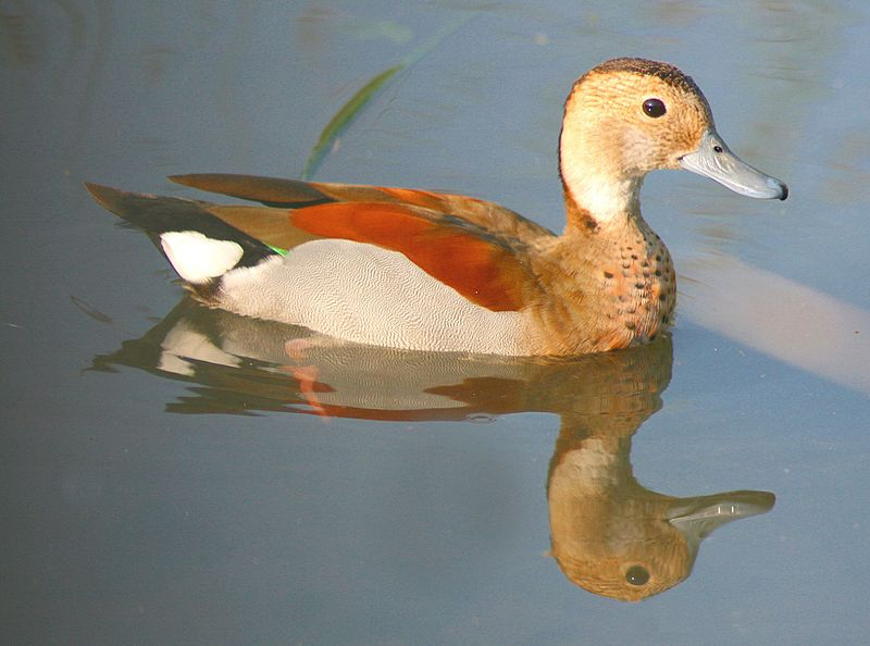 Ficheiro:Callonetta leucophrys -London Wetland Centre.jpg