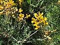 Calophaca wolgarica (ЧКУ).jpg