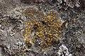 Caloplaca sp. (39902739144).jpg