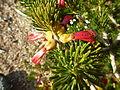 Calothamnus validus (leaves, flowers).JPG