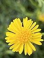 Calotis lappulacea flower closeup.jpg