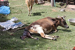 Calving in Laos (6 of 9).jpg