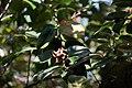 Camélia du Japon-Camellia japonica-Graine-Monção-20140911.jpg
