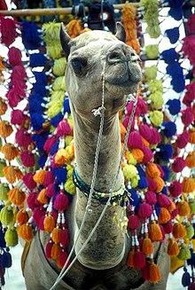 Camel in pakistan.jpg