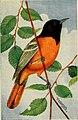 Camera studies of wild birds in their homes (1911) (14771418443).jpg