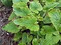 Campanula alliariifolia 2017-05-07 0167.jpg