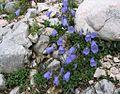 Campanula cochleariifolia plant1.jpg