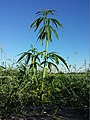 Cannabis sativa s. lat. sl2.jpg