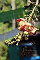 Canon ball tree flower (Couroupita guianensis (32024406660).jpg