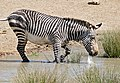 Cape Mountain Zebra (Equus zebra zebra) at waterhole ... (32192044230).jpg