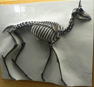 <i>Capromeryx minor</i> species of mammal (fossil)