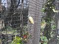 Capullo Mariposa Monarca.JPG