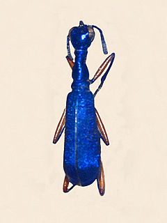 <i>Neocollyris</i> genus of insects