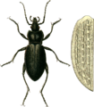 Carabus catenatus with elytron Jacobson.png