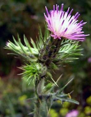 Dünnköpfige Distel (Carduus tenuiflorus)