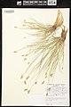 Carex crawfordii herbarium (1).jpg