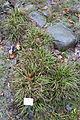 Carex digitata - Botanischer Garten, Dresden, Germany - DSC08702.JPG