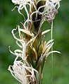 Carex disticha inflorescens (17).jpg