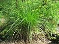 Carex elongata plant (1).jpg