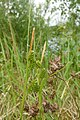 Carex pallescens inflorescens (16).jpg