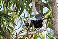 Carib Grackle Tordito (Quiscalus lugubris) (26492243081).jpg