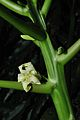 Carica papaya Flower 7769.JPG