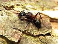 Carpenter Ant - Flickr - treegrow (4).jpg