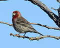 Carpodacus mexicanus -Madison -Wisconsin -USA-8.jpg