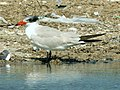 Caspian Tern - Flickr - treegrow.jpg
