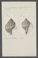 Cassidaria cingulata - - Print - Iconographia Zoologica - Special Collections University of Amsterdam - UBAINV0274 074 03 0007.tif